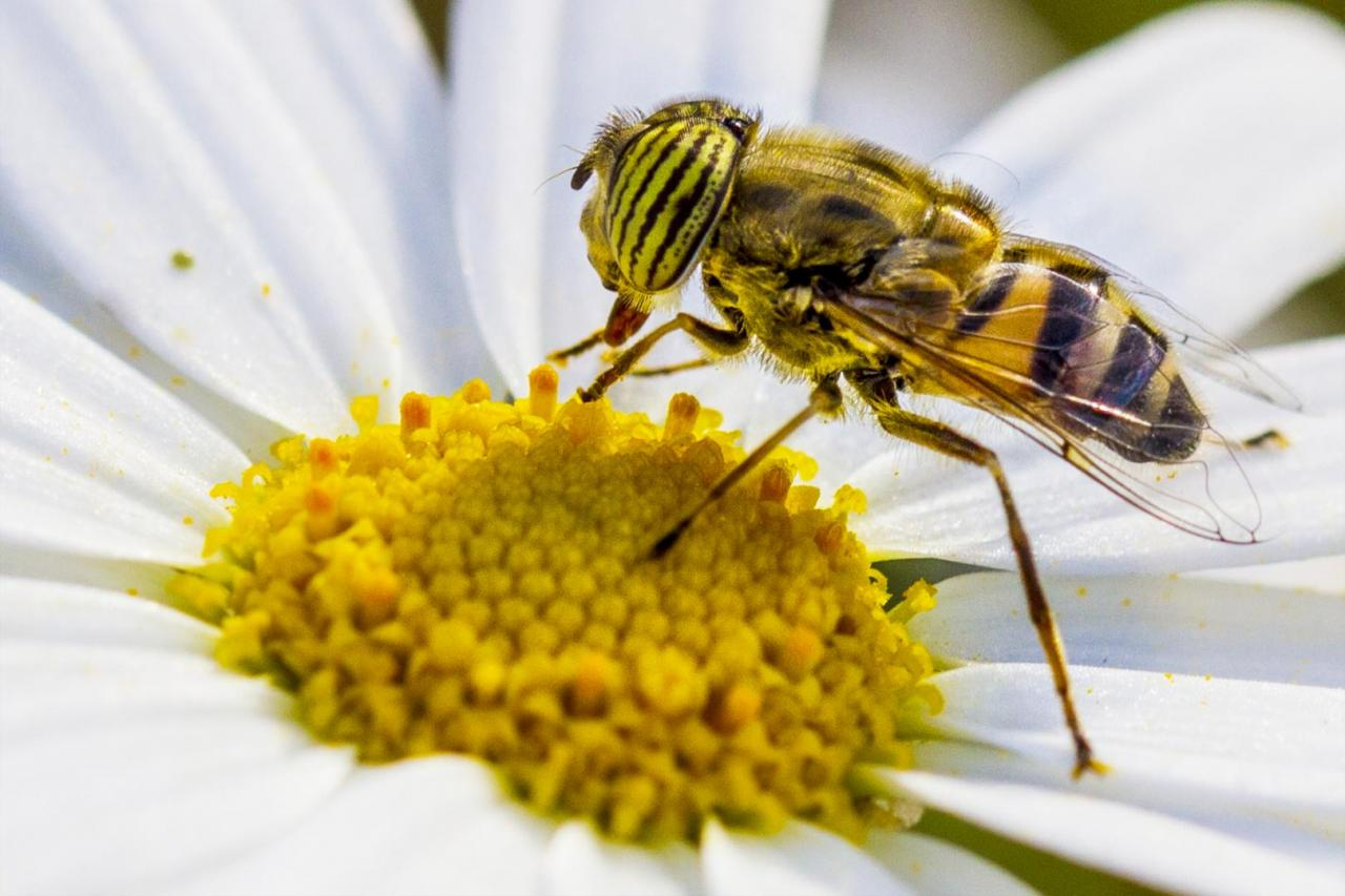 العسل الليبي